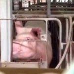 子どもに見せたい動画28「養豚場の妊娠用ストール」