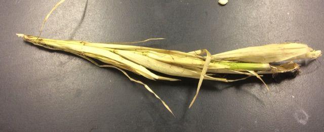 珍しい植物「テオシント」