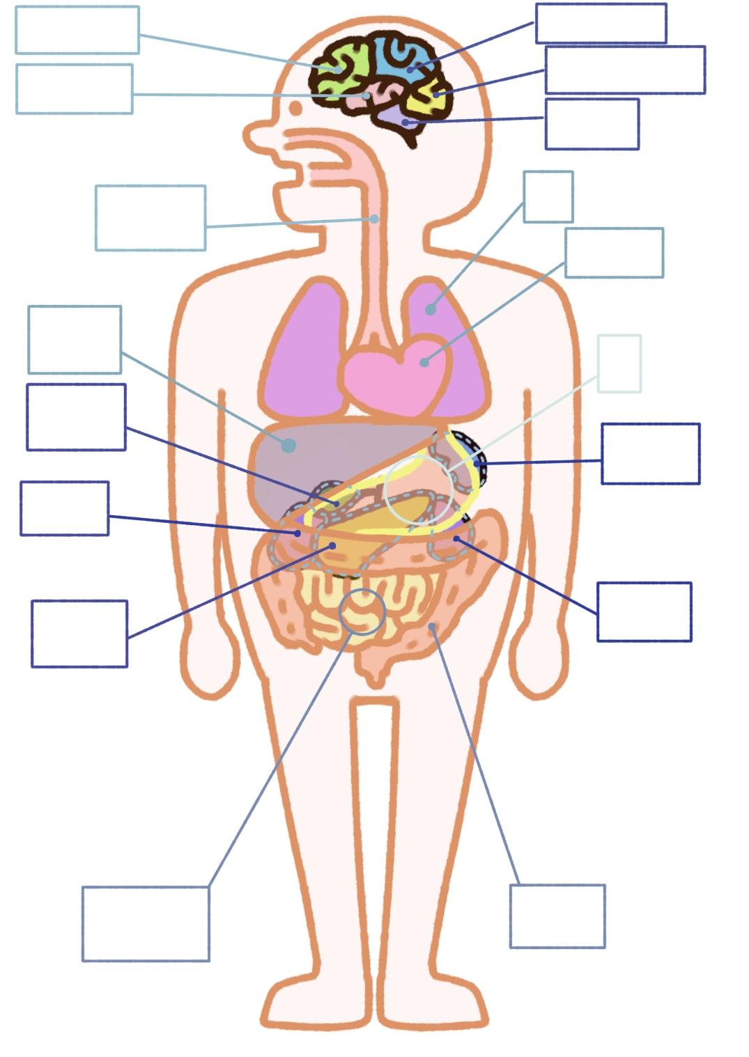 ヒトの臓器