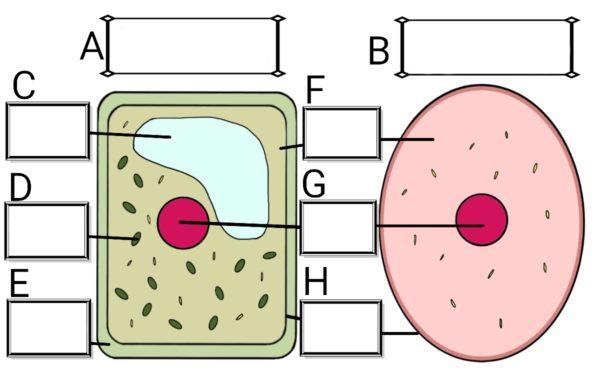 細胞のつくり(植物細胞と動物細胞)