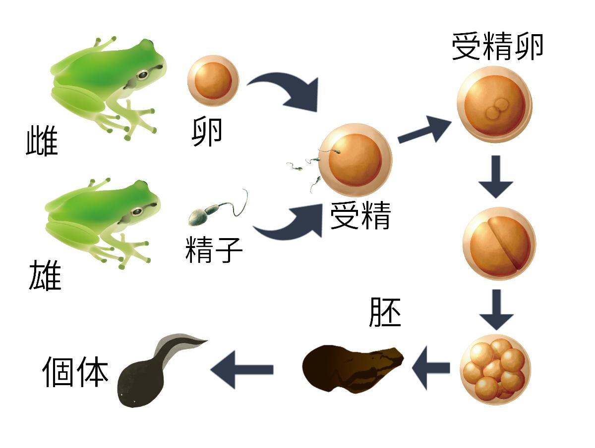 動物の有性生殖(カエルの発生)