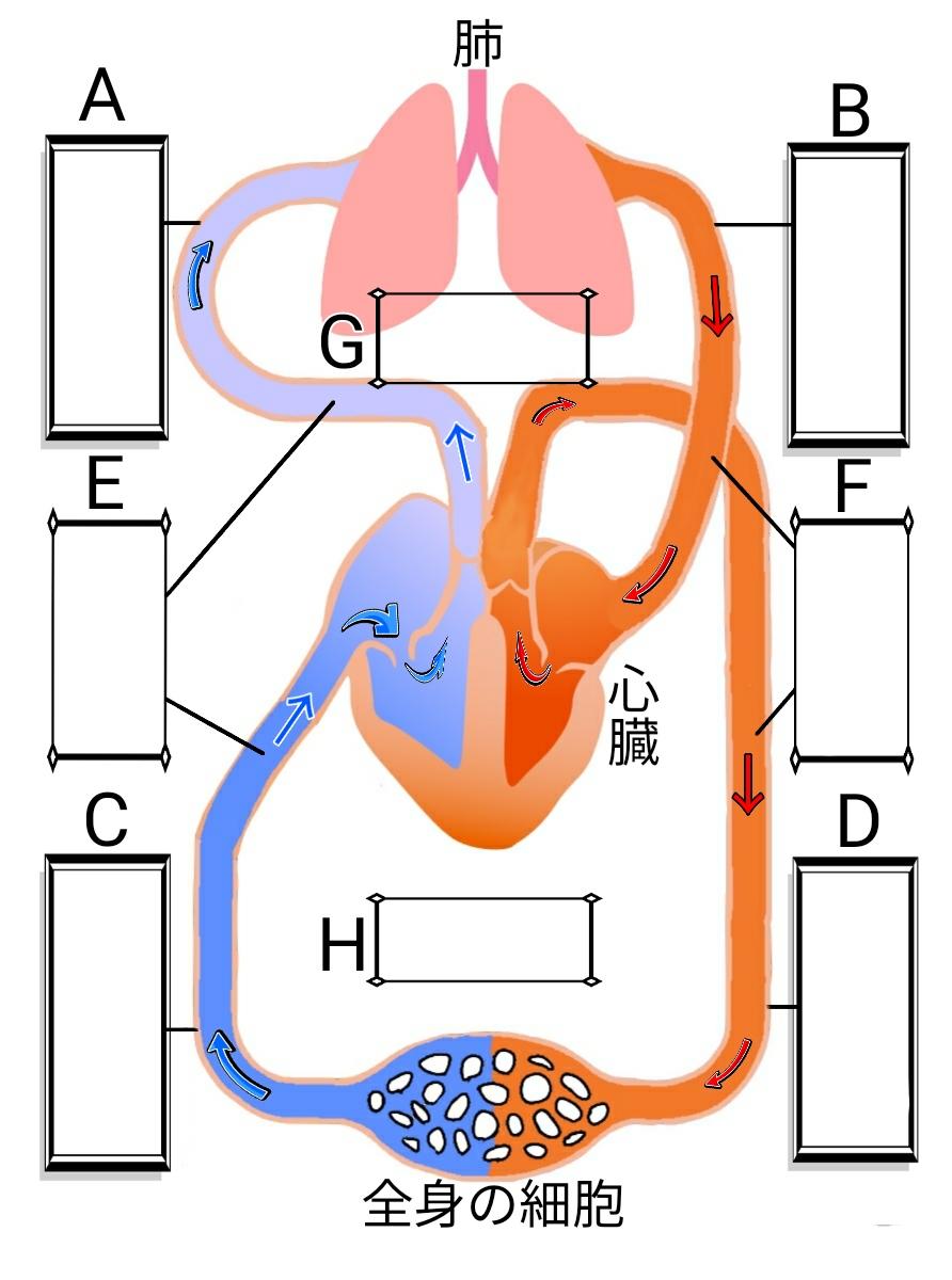 血液の循環(心臓と肺)