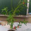 花粉管の発芽と伸長