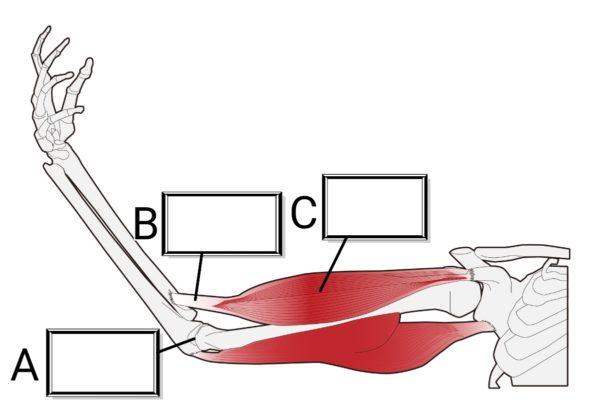 骨格と筋肉のうごき
