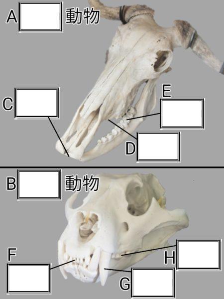 草食動物と肉食動物の頭骨