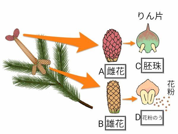 裸子植物(マツ)のつくり🐸🐰
