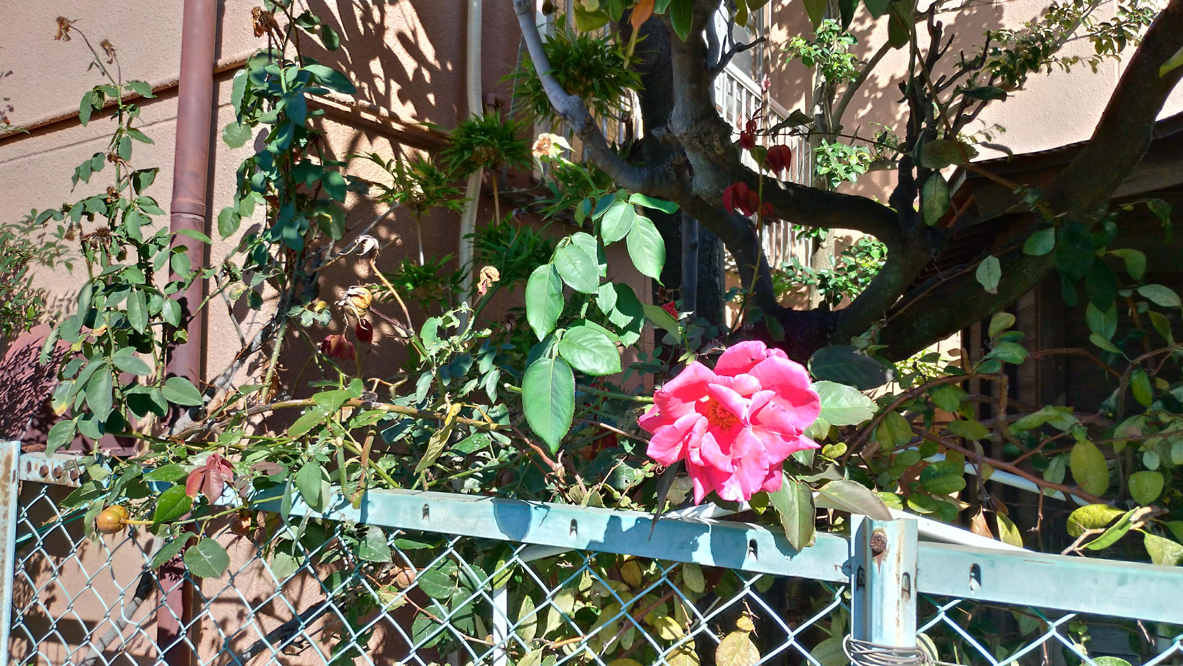 被子植物について「バラ」から学ぶ