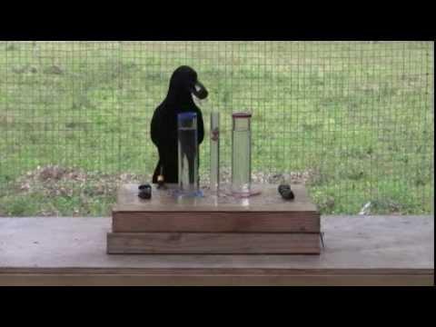 授業で見せたい動画38「カラスの知能と密度」