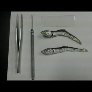 煮干し(カタクチイワシ)の解剖