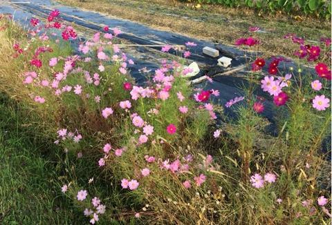 コスモスの筒状花の観察
