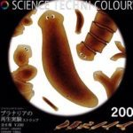 科学ガチャ⑨「プラナリアの再生実験ストラップ」