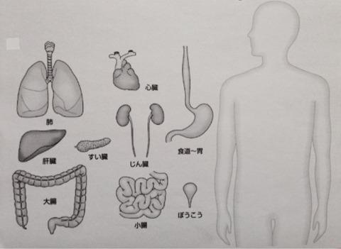 人の臓器ペーパークラフト